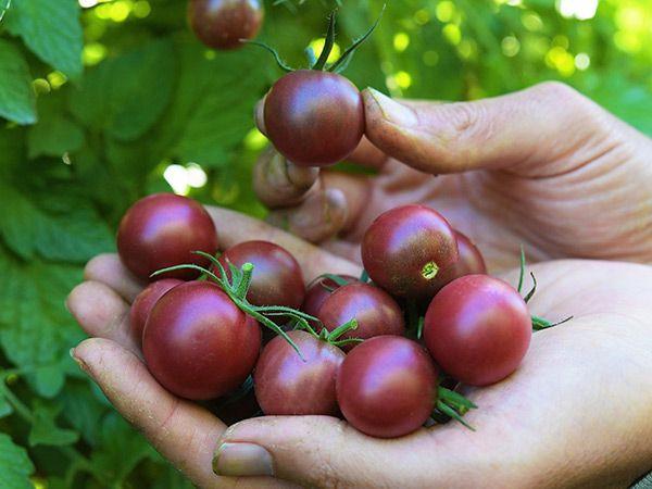 hands holding dark cherry tomatoes