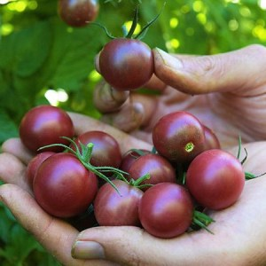 hands holding dark cherry tomatoes