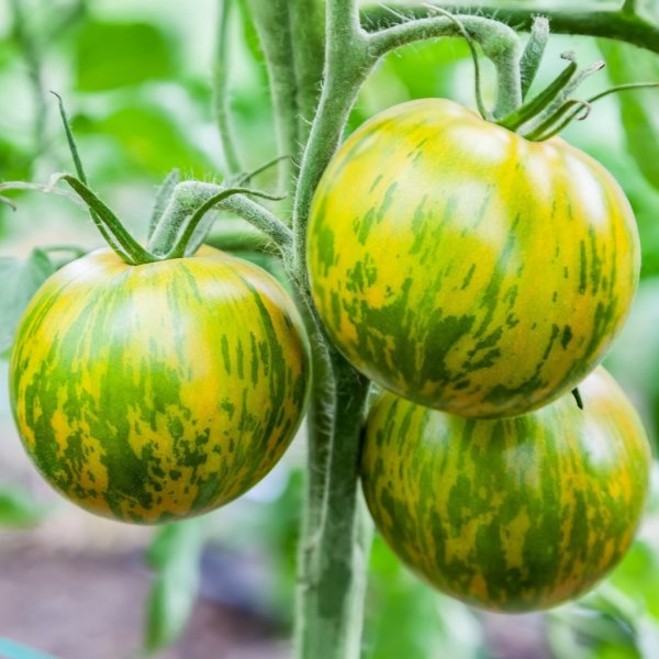 photo: green-striped tomatoes on the vine