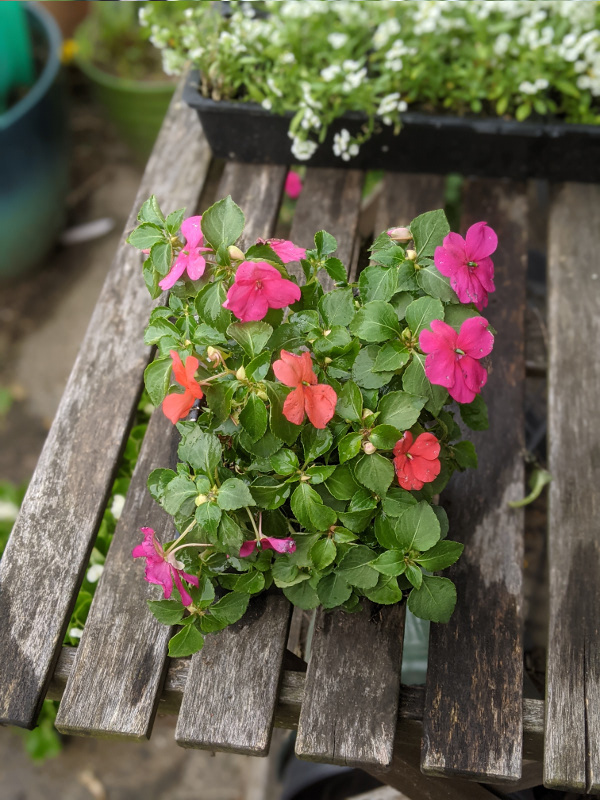photo:plant with multi-colored flowers