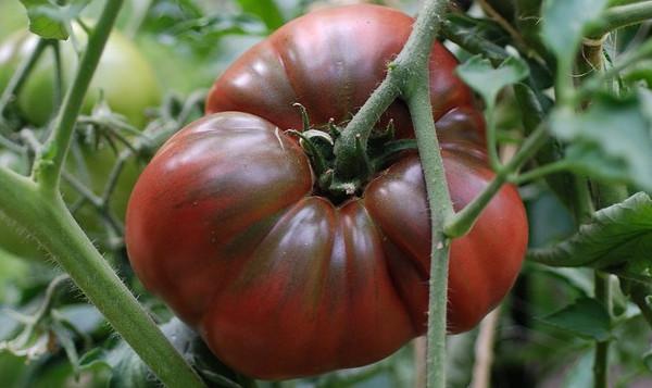photo: dark red tomato on the vine