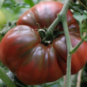 photo: dark red tomato on the vine