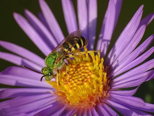 photo: bee on pink flower