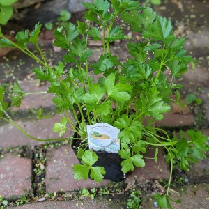 photo: parsley in pot