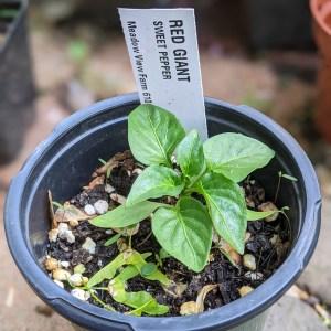 photo: pepper seedling in pot