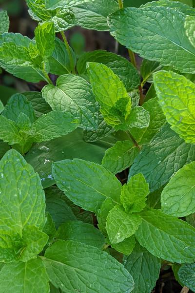 photo:spearmint plants