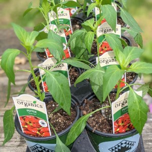 photo: pepper plants in pots with tags
