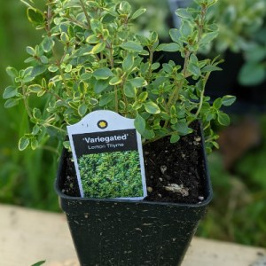 photo: potted herb