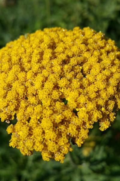 photo: yellow compound flower