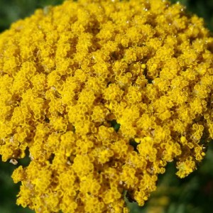 photo: yellow compound flower