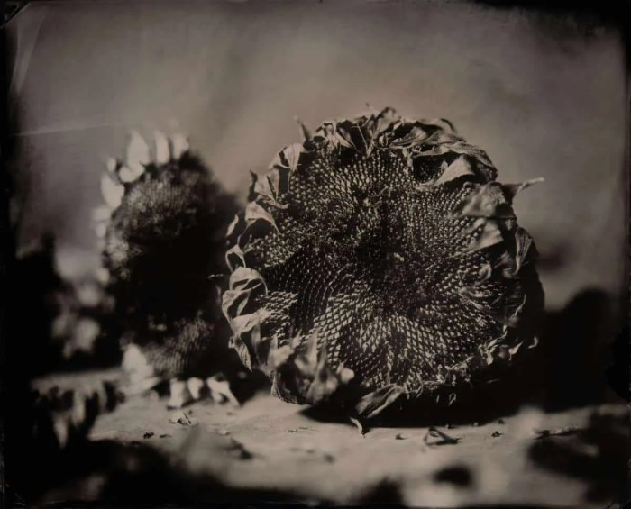 Wet plate collodion still life of 2 Cut Sunflowers