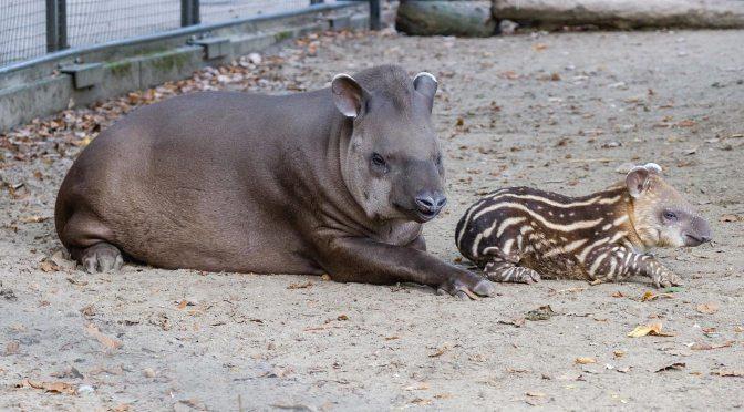De kleine en de grote tapir in Artis