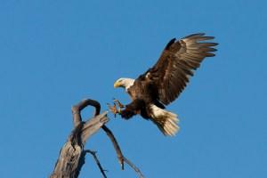 Bald eagle landing on perch tree