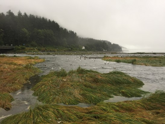 Sheep Creek Estuary at low tide. Gulls feeding on chum salmon eggs