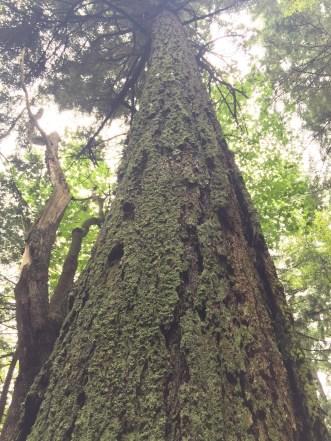 Western Hemlock is the most abundant tree species in Southeast Alaska.