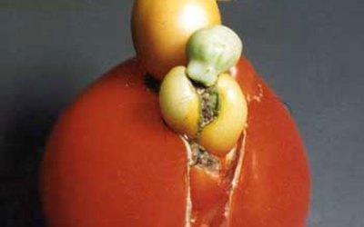 Invasion of the Tomato Snatchers
