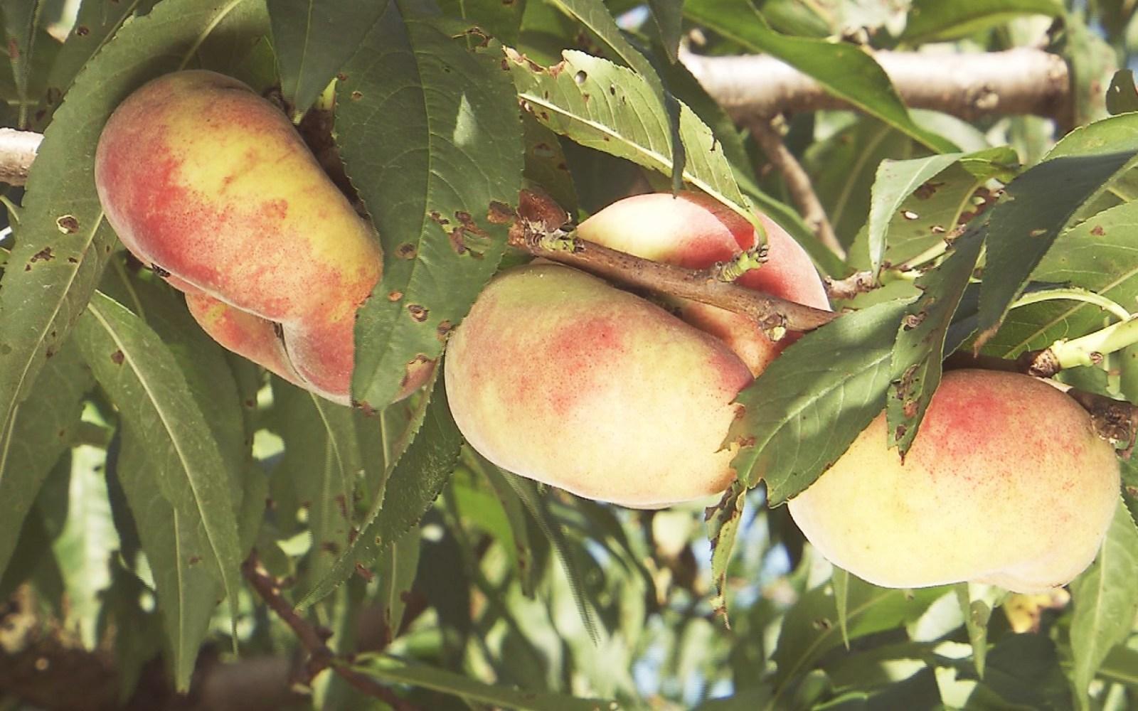 みずみずしくて甘味も!中国原産の珍しい桃「蟠桃」