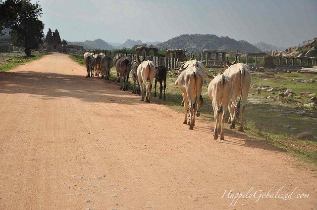 05-Hampi Cows