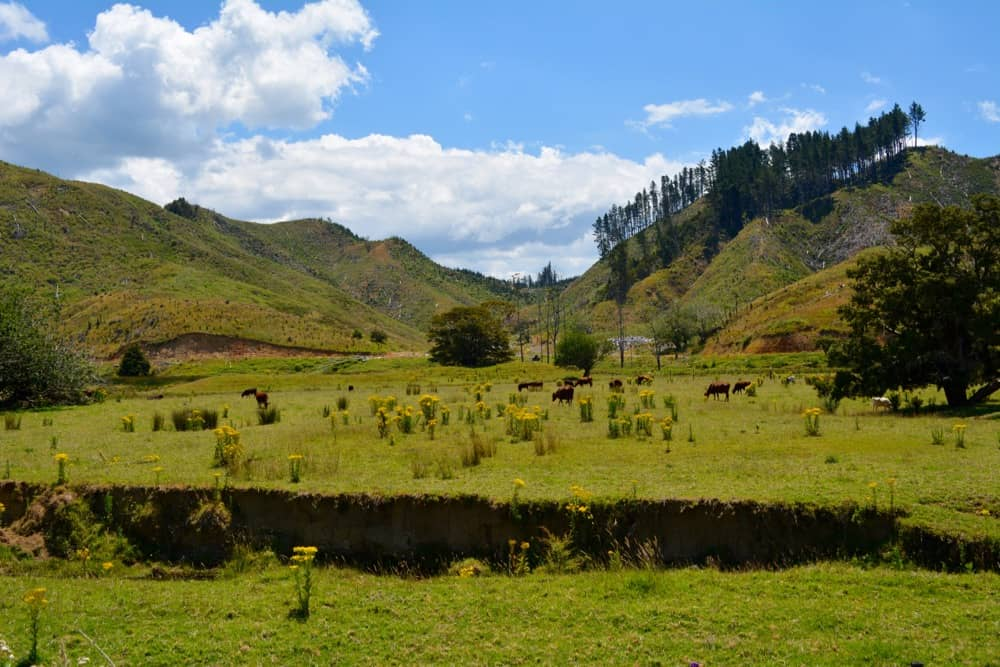 New Zealand cows and pastures