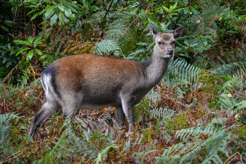A doe on the Beara Peninsula