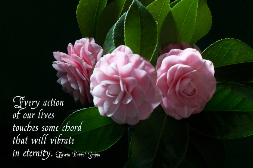 3 Camellias with quote
