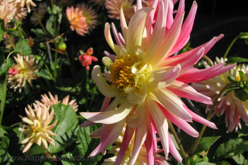 Multi colored dahlias