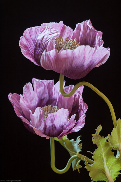 2 Pink Poppies-6493