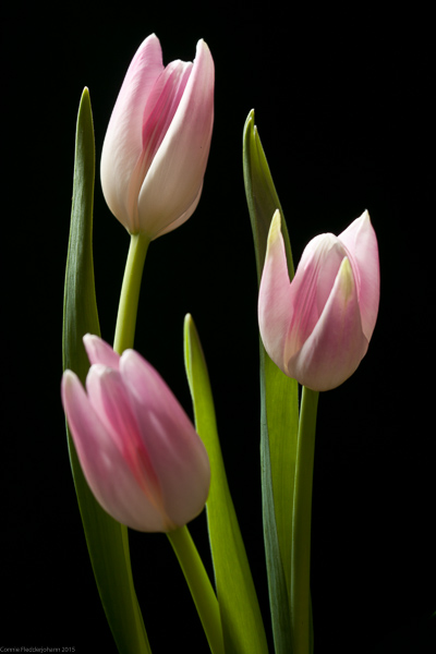 3  Pink Tulips-