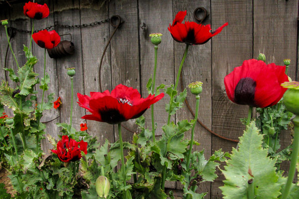 Red Poppies (1 of 1)