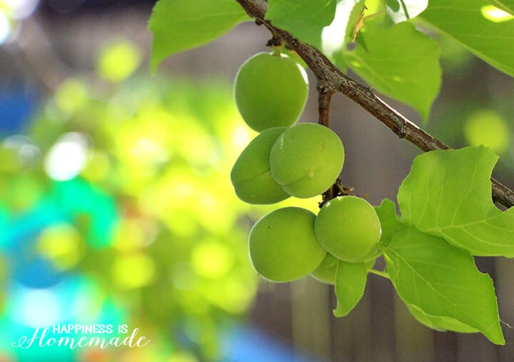 Apricot Tree with New Green Apricots