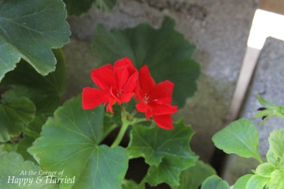 Fantasia Red Geraniums 2