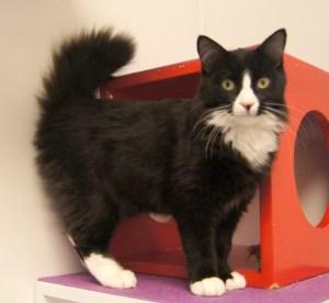 Figaro @ Happy Cats