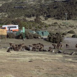 This photo shows gelada baboons in our camp in the Simien Mountains National Park. Our distinctive orange and white Dragoman truck is in the background.