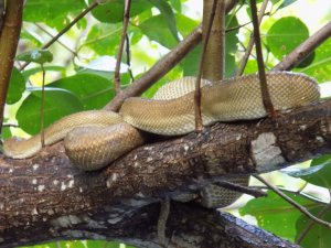 This picture shows a pale brown and cream boa sleeping on a branch above our heads