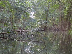 This picture shows the mangroves of Caroni Swamp reflected back in the still waters, giving an 'other-worldly' feel to the whole place