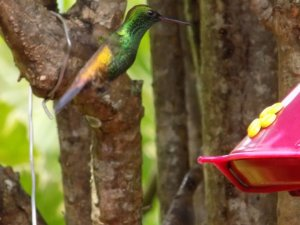 This photo shows a hummingbird hovering near one of the feeders at Yerette