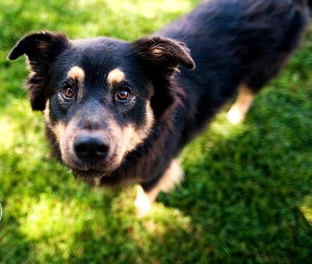 ... cattle-dog-border-collie-mix-australian-cattle-dog-border-collie-mix
