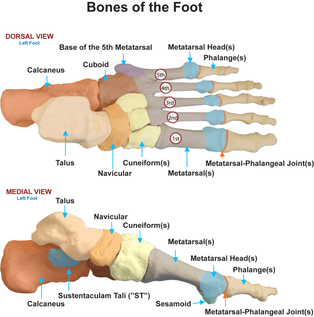 Bones-of-the-Foot