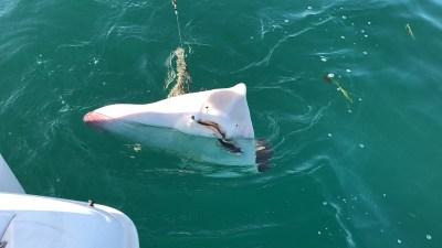 Happy Fisherman - Shovel Nosed Ray