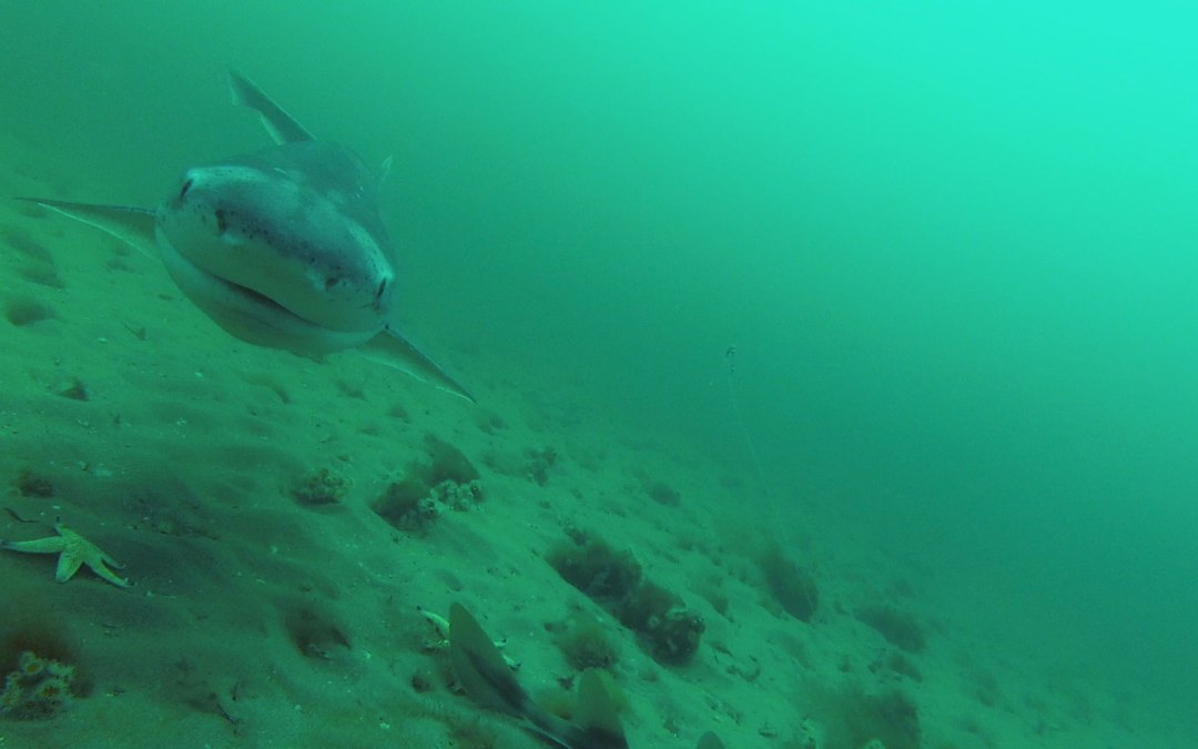 A quick video of the Seven Gill shark