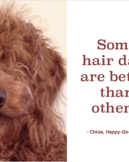 Red goldendoodle puppy's face with messy hair covering eyes and quote by Chloe, Happy-Go-Doodle