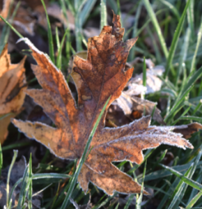 Fall leaf with frost on green grass