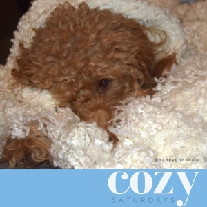 Red goldendoodle dog snuggled in white blanket with title cozy saturdays
