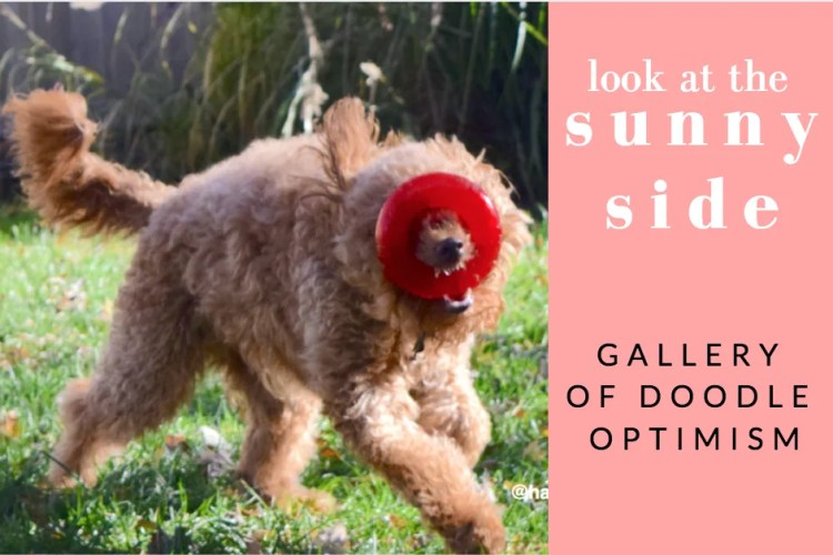 Red goldendoodle dog running with toy and title sunny side