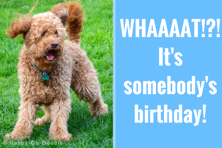 Red goldendoodle dog with surprised expression standing on green grass with title What! It's somebody's birthday! on blue sidebar next to dog