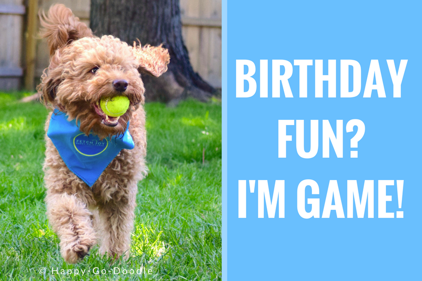 Goldendoodle dog fetching yellow tennis ball and wearing a dog bandana with dog birthday quote that says birthday fun i'm game