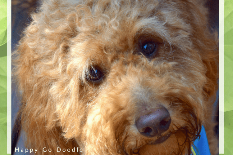 Close-up of goldendoodle's face