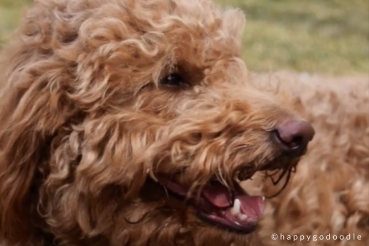 Side profile of red goldendoodle dog's face with smiling mouth