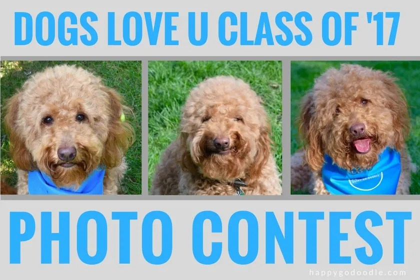Three pics of red goldendoodle dog smiling and title Dogs Love U Class of '17 Photo Contest