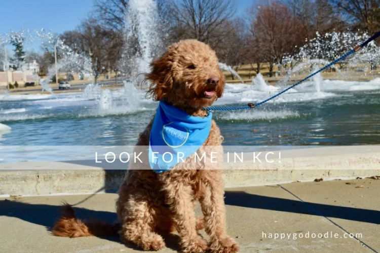 Red goldendoodle dog in front of North Kansas City Missouri Fountain and words look for me in KC